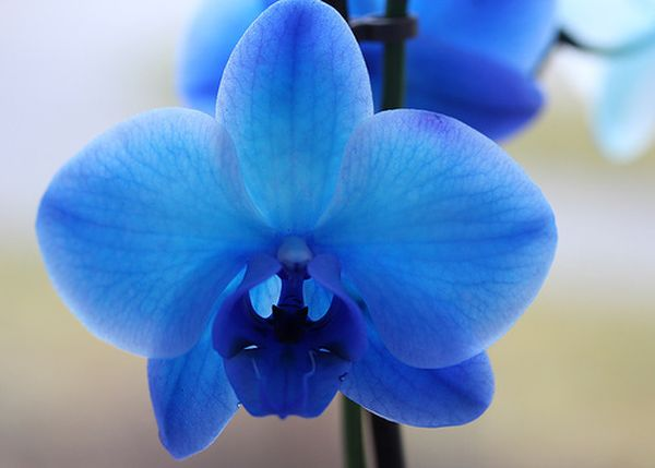 Синий цвет орхидей достигается покраской