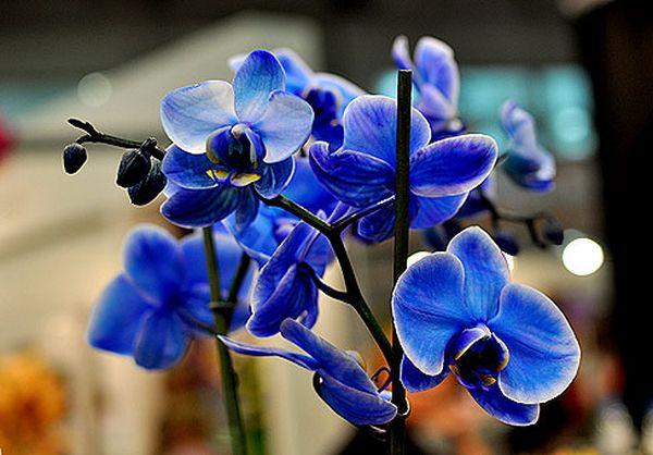 «Королевский голубой» вид орхидеи