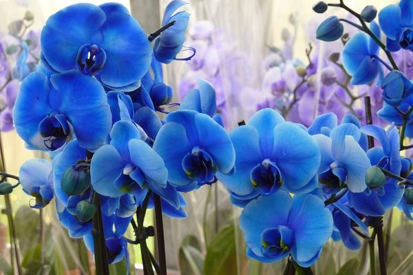 Изготовители могут покрасить Фаленопсис в синий цвет