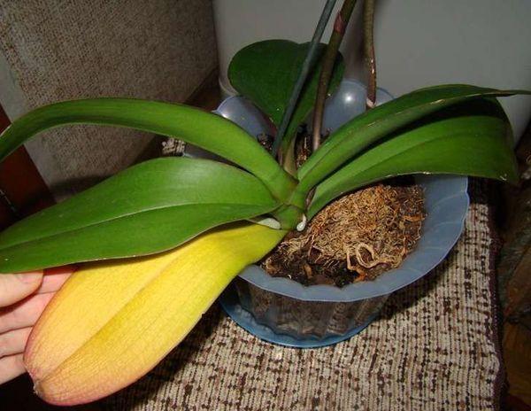 Фаленопсис может сохнуть из-за перелива