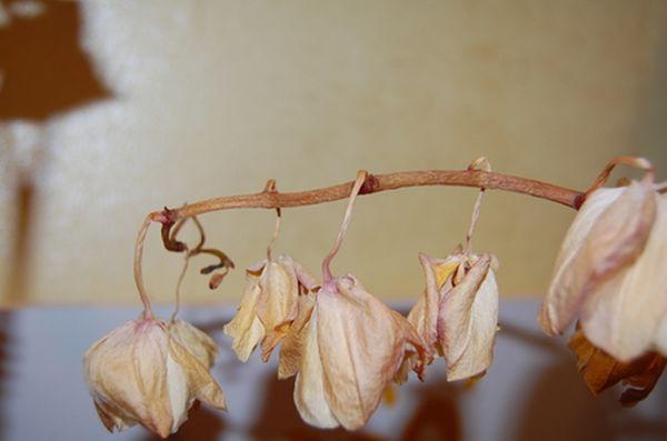 Орхидею могут погубить вредители