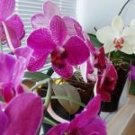 Все цветоводы обожают цветущую орхидею