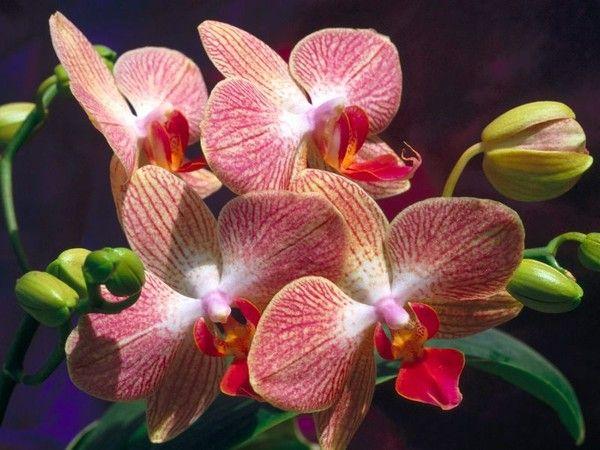 У орхидеи цветение происходит чаще всего 2 раза в год