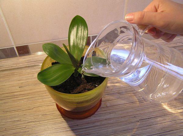 Орхидея не любит частый полив