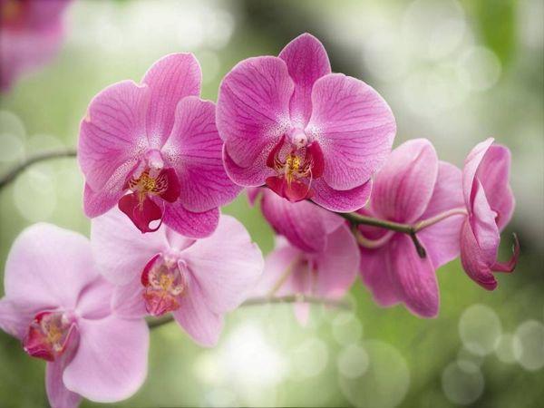 Орхидея плохо цветет в жару