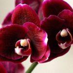 Орхидея - очень прихотливое растение
