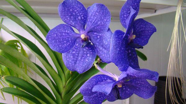 Для цветения Ванды требуется высокая увлажненность воздуха