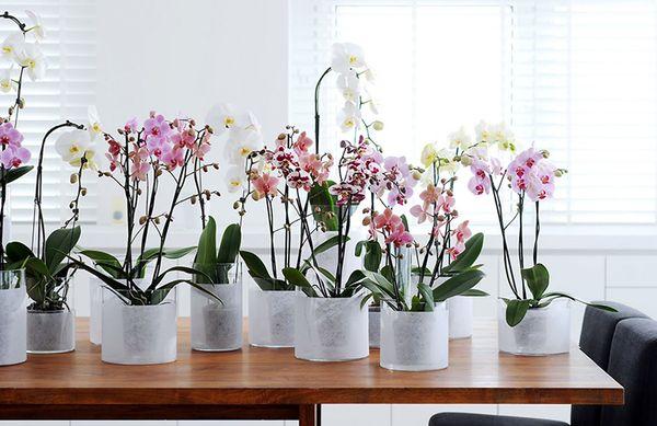 Главное в уходе за орхидеей - не заливать цветок