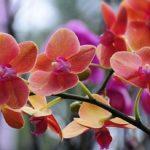 Орхидею можно выращивать в воде