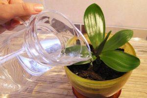 Полив орхидеи должен осуществляться отстоянной водой