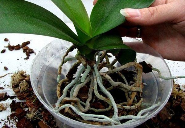 Разные формы фаленопсиса растут на разных смесях