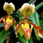 Орхидея Венерин Башмачок (Paphiopedilum)