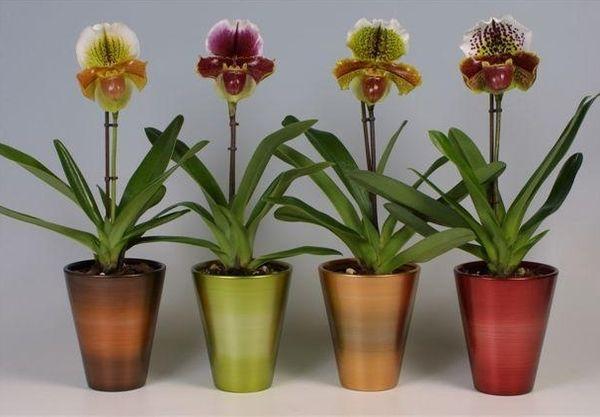 Орхидея Пафиопедилум - это экзотический комнатный цветок