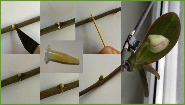 Нанесение цитокининовой пасты на орхидею