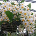 Красивая орхидея Дендробиум нобиле