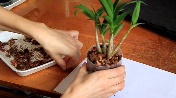 Уход за Дендробиум после цветения
