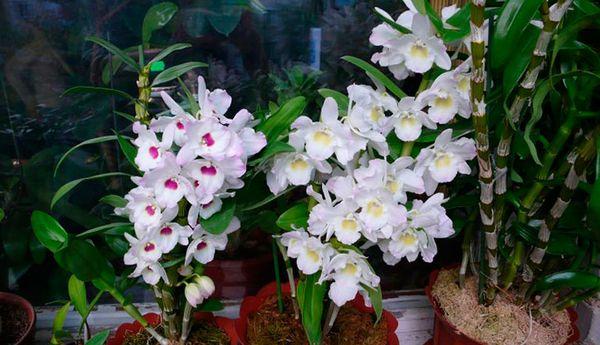 Dendrobium nobile относится к эпифитным растениям