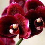 Фитоспорин может спасти орхидею от вредителей