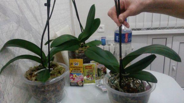 «Фитоспорин-М» обрабатывают семена и корни орхидей