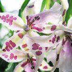 Популярный вид орхидеи Камбрия