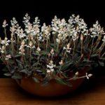 Орхидея Лудизия – красивый экзотичный цветок