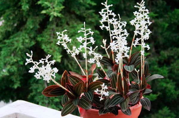 Орхидея Лудизия по своей природе тенелюбива
