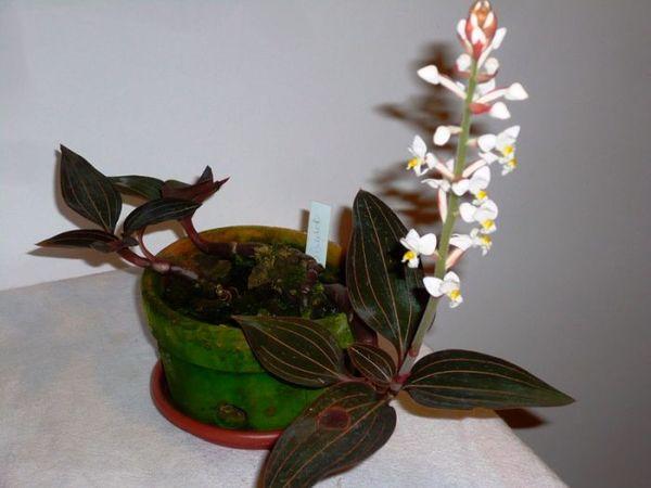 Орхидее Лудизия противопоказаны сквозняки