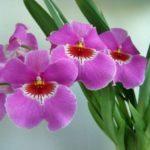 Орхидея мильтония поражает красотой