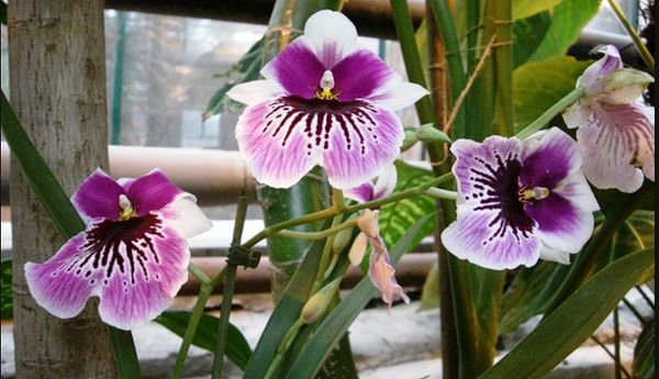 Орхидея мильтония представляет разновидность эпифитных орхидей