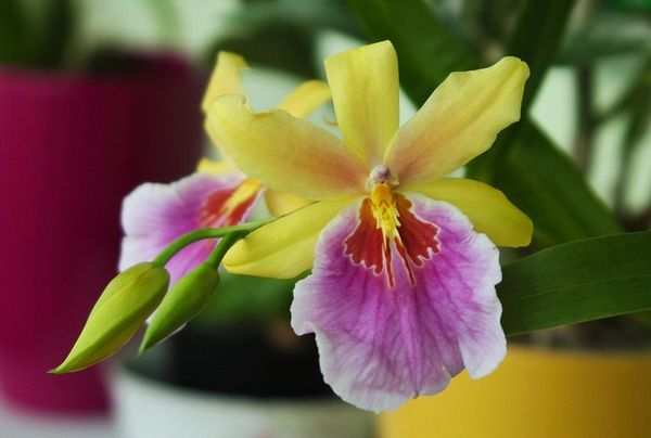 До цветения каждый месяц нужно вносить удобрения