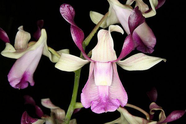 Орхидея Dendrobium taurinum известна как орхидея-бык