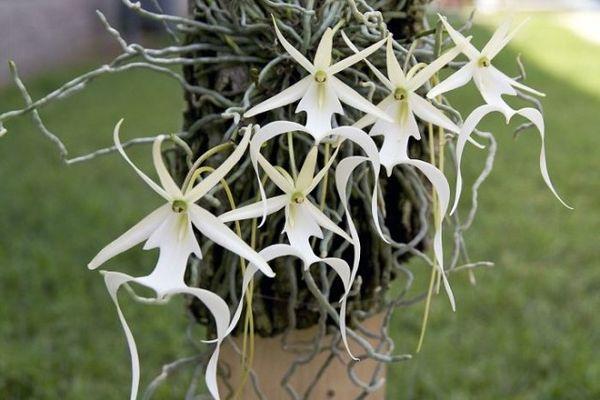 Dendrophylax lindenii - орхидея-призрак