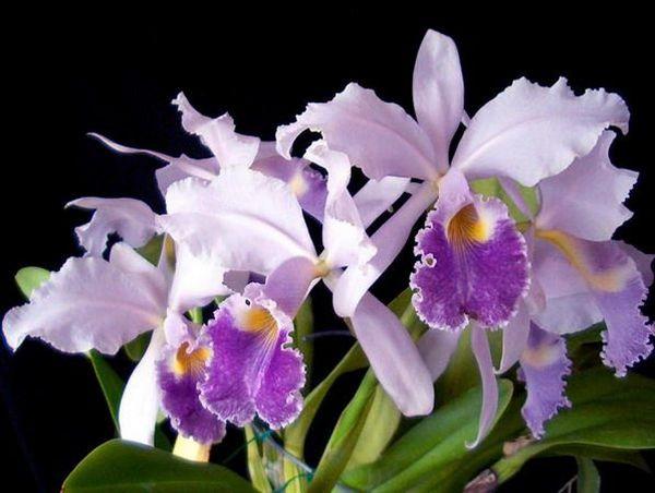 Каттлея может поистине называться настоящей орхидеей