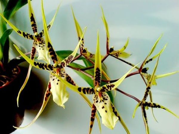 Брассия или орхидея паук