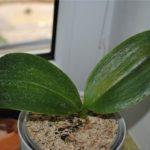 Орхидеи как и другие цветы подвержены болезням
