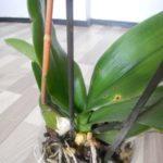 Орхидеи склонны к различным заболеваниям