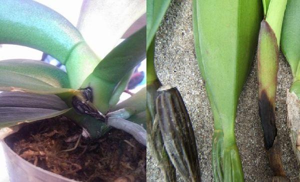 Черная гниль на орхидее