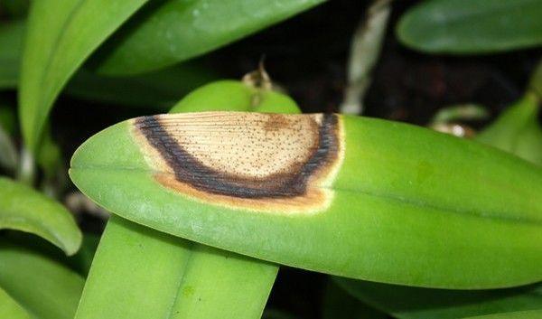 Ожог листьев у орхидей – это не болезнь