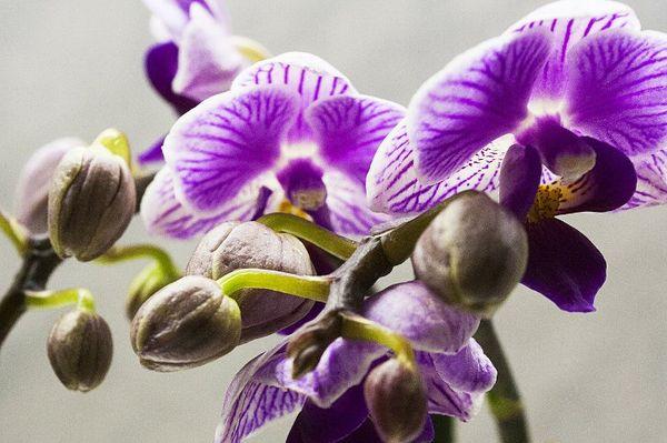 Фаленопсис обычно зацветает зимой
