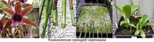 Размножение орхидеи фаленопсиса в домашних условиях