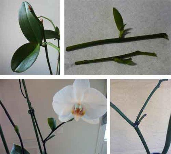 как размножить орхидею цветоносом в домашних