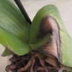 У орхидеи может чернеть листья