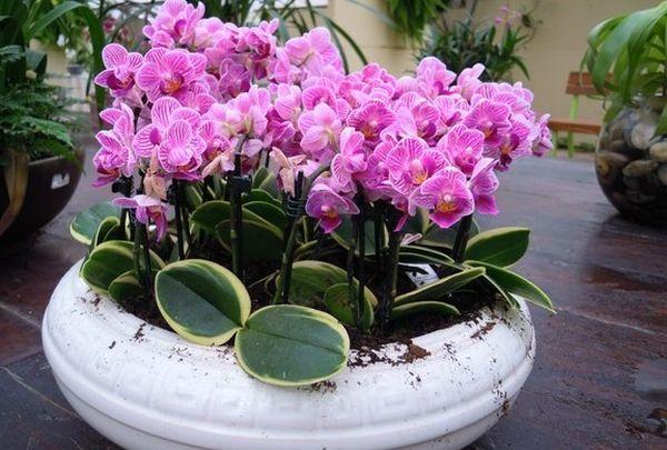 Период цветения у фаленопсиса достаточно продолжителен