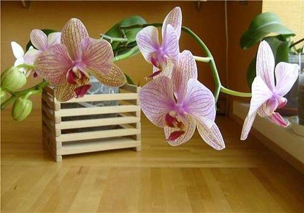 При правильном подходе орхидея продолжит цвести