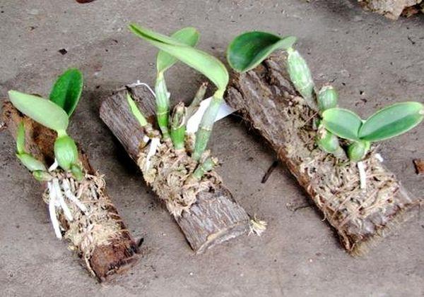 В блоки сажают орхидеи, которым не нужен субстрат