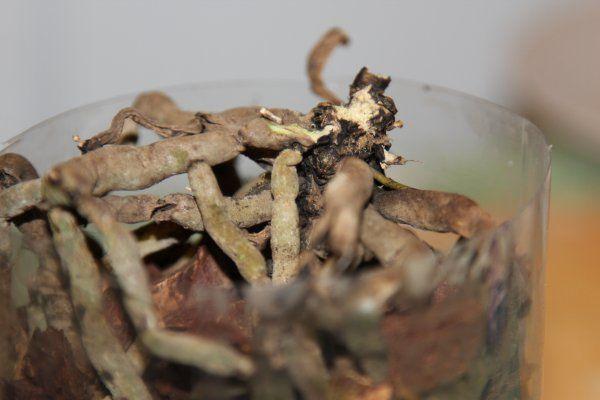 Как восстановить орхидею в домашних условиях?