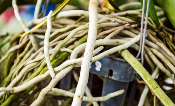 Вид здоровых корней орхидеи