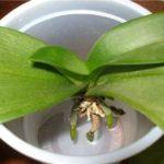 Орхидею без корней можно спасти