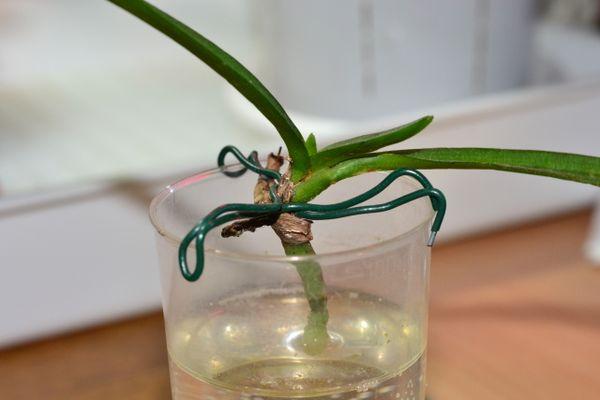Корни орхидеи наращиваются в специальных подкормках