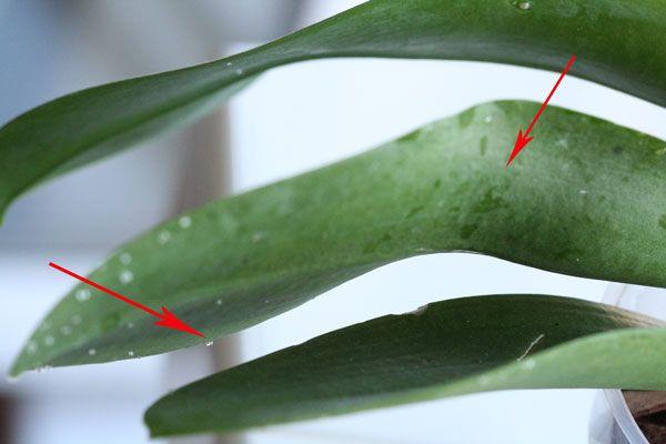 Капли на орхидее могут быть нектаром